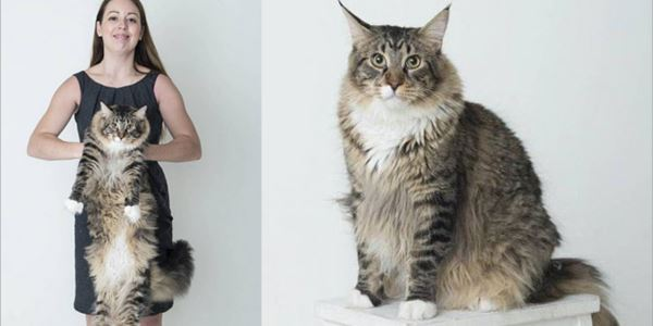 Ludo, Si Kucing Terbesar Di Inggris
