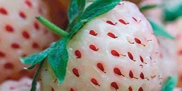 Uniknya Stroberry Berwarna Putih khas Amerika 2