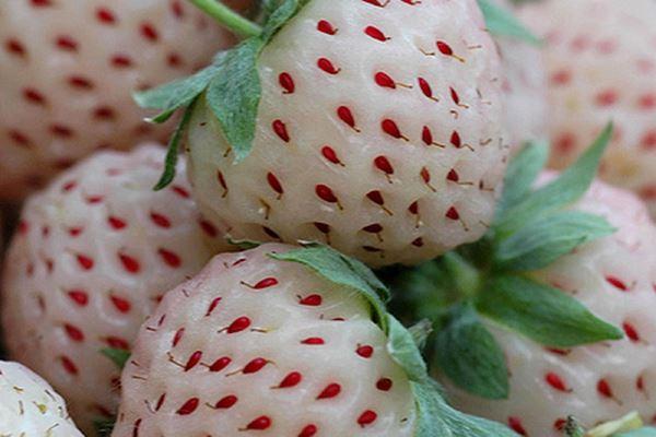 Uniknya Stroberry Berwarna Putih khas Amerika