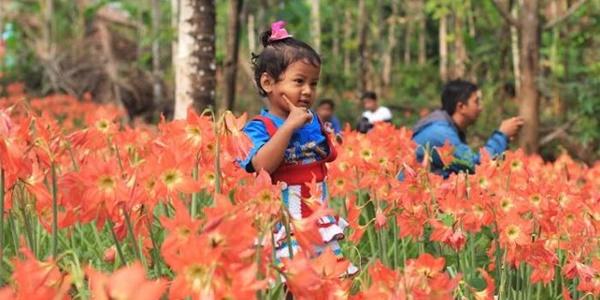 Baru Seminggu Heboh, Kebun Bunga Amaryllis yang Indah Itu Kini Hancur 3