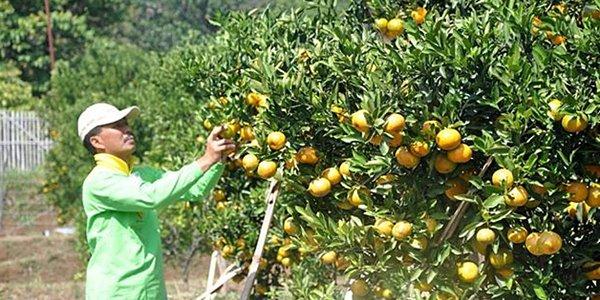 Serunya Memetik Buah Langsung dari Pohonnya di Kusuma Agrowisata Batu KabarDunia.com_Serunya-Memetik-Buah-Langsung-dari-Pohonnya-di-Kusuma-Agrowisata-Batu_Kusuma Agrowisata