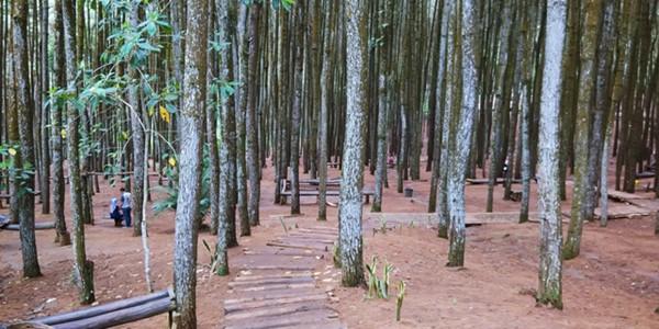 Bingung Mau Liburan Kemana? Yuk, Piknik Ke Hutan Pinus Imogiri Jogja KabarDunia.com_Bingung-Mau-Liburan-Kemana-Yuk-Piknik-Ke-Hutan-Pinus-Imogiri-Jogja_hutan pinus imogiri