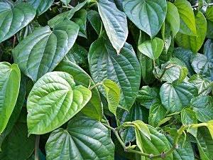daun sirih obat keputihan
