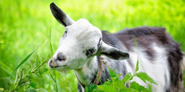 5 Manfaat Konsumsi Susu Kambing untuk Kesehatan Tubuh