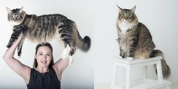 ludo-kucing-raksasa-berbobot-11-kg