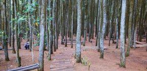 Bingung Mau Liburan Kemana? Yuk, Piknik Ke Hutan Pinus Imogiri Jogja